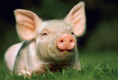 Ik voel me zo dik als een varken